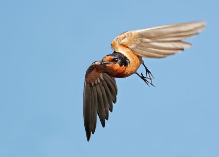 4_barnswallow1-nicksaunders