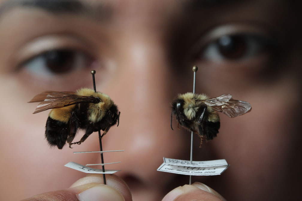 To bee or not to bee: Endangered species vanishing without ...