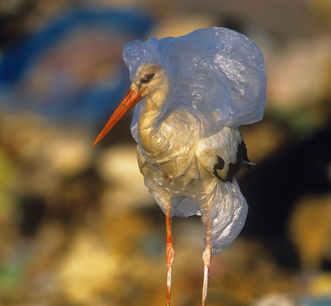Stork in a plastic bag ~JOHNCANCALOSI/NATUREPL.COM