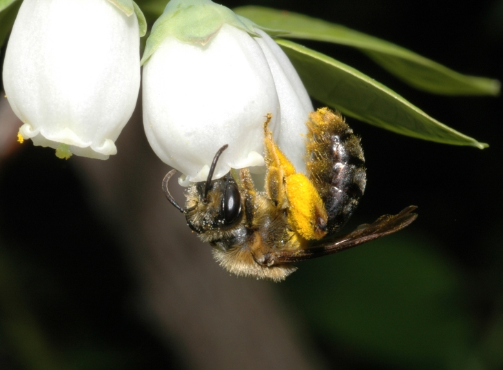 The wild Andrena bee visiting blueberry flowers ~ Rufus Isaacs photo
