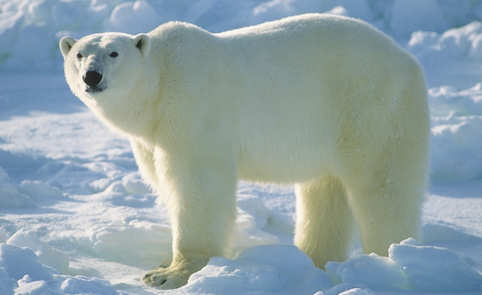 Polar bear ~ photo by Daniel J. Cox/Natural Exposures