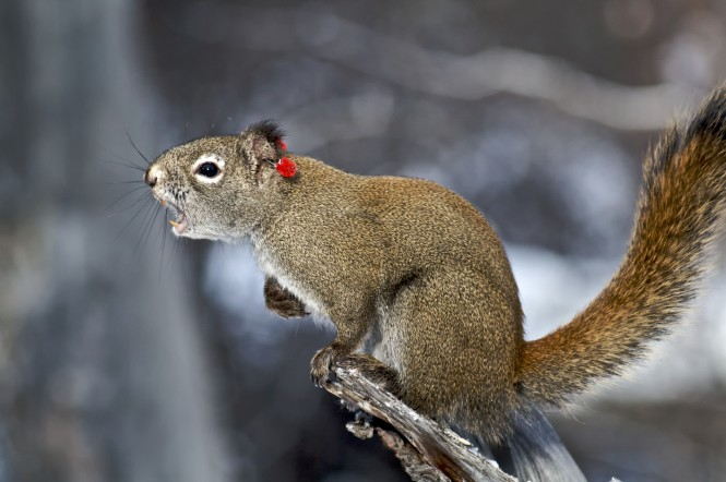 "Red squirrel, sporting ear tag,  emitting a territorial ""rattle"" ~ photo Ryan W. Taylor"