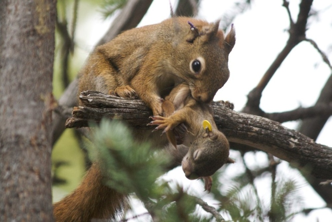 A female red squirrel at the Yukon camp moving a juvenile from one nest  to another.  ~photo byRyan W. Taylor