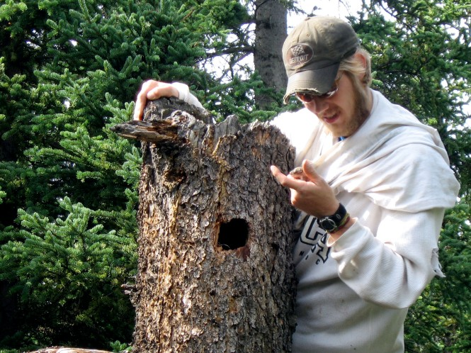 Biologist Ben Dantzer removes a young squirrel from its nest so it can be weighed ~  Ben Dantzer photo