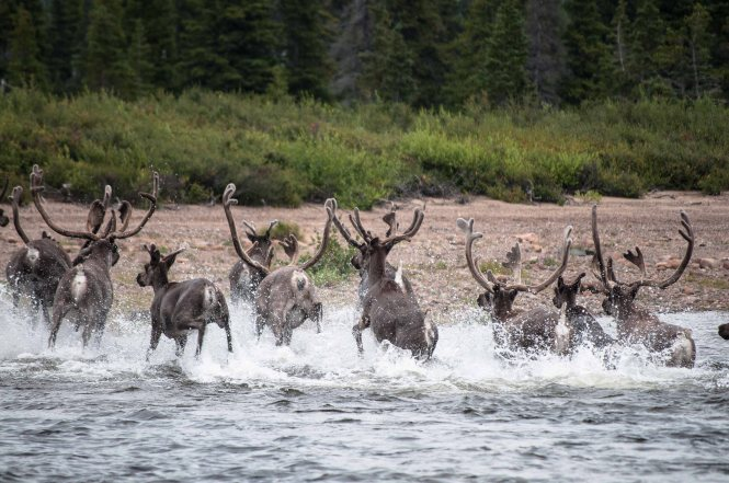 George River caribou in northern Quebec ~ photo by Valerie Courtois