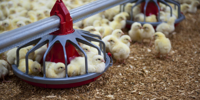 Canada's chicken farmers ban injections that trigger superbugs Chicken farmers New chicks in at barn in British Columbia. PHOTO: CHICKEN FARMERS OF CANADA