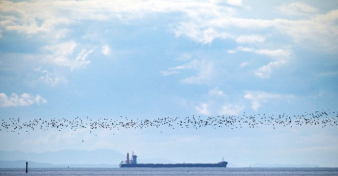 Western Sandpipers flocking near Roberts Bank  ~ BEN NELMS for Postmedia