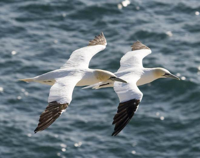 Northern gannets are pictured in flight. Warming sea water is threatening the species. ~ DAVE FIFIELD